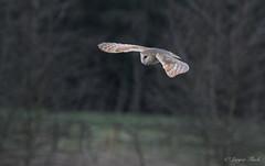 LQ5A3749 (larysaflack) Tags: barn owl hunting bird prey