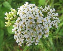 common yarrow close-up (Cheryl Dunlop Molin) Tags: commonyarrow wildflower indianawildflowers