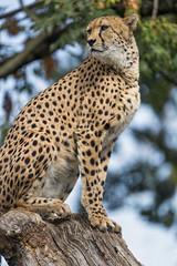 Cheetah quite high II (Tambako the Jaguar) Tags: cheetah big wild cat portrait posing high log branch tree sitting sky basel zoo switzerland nikon d5