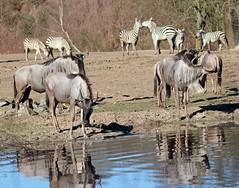 wildebeast Burgerszoo 094A0565 (j.a.kok) Tags: animal africa afrika antilope wildebeast gnoe gnu mammal zoogdier dier herbivore burgerszoo burgerzoo