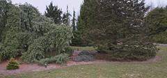 Picea pungens 'Saint Mary's Broom', 2019 photo (F. D. Richards) Tags: harpercollectionofraredwarfconifers hiddenlakegardens tiptonmi hrh bedh michigan usa