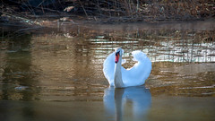 Swan on a Icy Water (Mikael Neiberg) Tags: swan spring water ice finland helsinki seurasaari naturesbeauty finnishnature bird nature shore sea suomi white whitebird beauty wings wildlife nikon nikond700 nikkor80200mmf45ai kenko2xmacroteleplusmc7 telephoto muteswan
