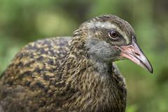 Weka (Grant Brodie Photography) Tags: weka newzealand southisland birds closeup grantbrodiecreativephotography