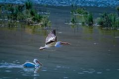 Pelican (jkcrazyjim2) Tags: americanwhitepelican american white pelican lake lakeelsinore elsinore socal california