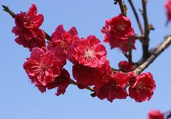 Pfirsich / peach (Prunus persica Kurowaka-yaguchi) (HEN-Magonza) Tags: botanischergartenmainz mainzbotanicalgardens rheinlandpfalz rhinelandpalatinate germany deutschland frühling spring flora