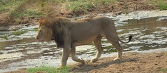 Just a stroll along the River Bank  ( Lion  /  Leeu ) (Pixi2011) Tags: lions big5 wildlife krugernationalpark southafrica africa animals nature