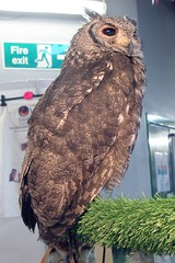 Simba (billnbenj) Tags: barrow cumbria owl vermiculatedeagleowl raptor birdofprey