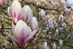 Magnolia time ♡♡♡ (RW-V) Tags: canoneos70d canonefs35mmf28macroisstm magnolia blumen fleurs bloemen flowers lente printemps frühling spring sooc 225faves 325faves 375faves 425faves 475faves 500faves 525faves 550faves 5000views 575faves 600faves 7500views 625faves