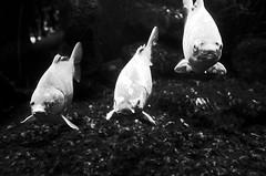 Watching me (stefankamert) Tags: noir noiretblanc blackandwhite blackwhite fish fishes three aquarium water grain highcontrast stefankamert ricoh gr grii ricohgr