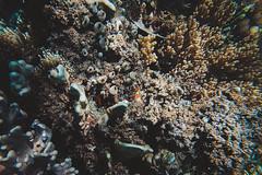 GOPV15143 (waychen_c) Tags: philippines ph visayas centralvisayas bohol provinceofbohol baclayon municipalityofbaclayon pamilacan pamilacanisland boholsea sea seascape coralreef coral fish clownfish tropicalfish cebutour2019 菲律賓 維薩亞斯 維薩亞斯群島 中維薩亞斯 保和 保和省 巴卡容 帕米拉坎 帕米拉坎島 珊瑚礁 珊瑚 熱帶魚 小丑魚 2019宿霧旅行 gopro goprohero7black tomatoclownfish 紅小丑 白條雙鋸魚 保和海