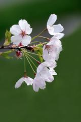 Vancouver 温哥華 (syue2k) Tags: british columbia 不列顛哥倫比亞省 vancouver 温哥華 canada sakura cherry blossom season 樱花季節