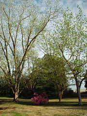 Scenic Northeast Park. (dccradio) Tags: lumberton nc northcarolina robesoncounty outdoor outdoors outside nature natural park citypark raymondbpenningtonathleticcomplex penningtonathleticcomplex northeastpark april weekend saturday saturdaynight saturdayevening evening goodevening spring springtime hp hewlettpackard hpdsccb350 flower floral flowers pinkflowers azalea azaleabush plant pink tree trees treebranch branch branches treebranches treelimb treelimbs sky eveningsky
