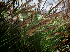 Pollen a plenty (EllenJo) Tags: tuzirap tuzigootriveraccesspoint clarkdalearizona verderiver april2019 april 2019 pentaxqs1 ellenjo springtimeinarizona grasses pollen allergies verdevalley grasspollen riparian clarkdale az ahchoo sneeze