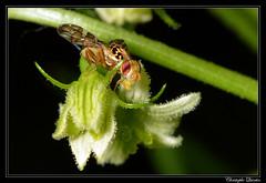 Goniglossum wiedemanni (cquintin) Tags: arthropoda diptera tephritidae goniglossum wiedemanni macroinsectes