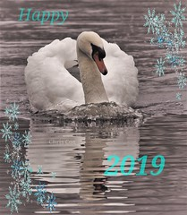 Last pic'. 2018 / Mute Swan (Chris Cox Images of Nature) Tags: swan 2018 2019 warwickshire reflection movement new years wishes uk england wildlife nature