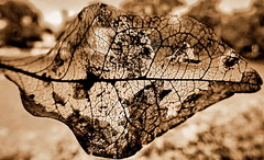 See through beauty of a skeletonized leaf (+1) (peggyhr) Tags: peggyhr dsc09611ab panamacity dsc09611c leaf skeletonized sepia delicate intricate bokeh carolinasfarmfriends infinitexposurel1 level1pfr rainbowofnaturelevel1red super~sixbronze☆stage1☆ thegalaxy infinitexposurel2 rainbowofnaturelevel2orange super~six☆stage2☆silver rainbowofnaturelevel3yellow infinitexposurel3 level2photographyforrecreation