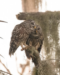 A Loving Couple at Circle B (Mark Schocken) Tags: strixvaria barredowl owls markschocken circlebbarreserve