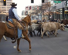 Longhorns up 17th ave (qbose8) Tags: nwss olympus25mm18 downtown denver cowboys longhorns horse