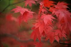 Autumn Red (*Kicki*) Tags: göteborg sweden autumn ffp red leaves bokeh gothenburg botaniska trädgård park garden tree 50mm dof branch