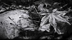 Caducs (Un jour en France) Tags: canonef1635mmf28liiusm canoneos6dmarkii feuille érable hiver monochrome noiretblanc noiretblancfrance