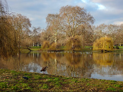 St James's Park Lake (stellagrimsdale) Tags: stjamesparklake lake landscape tree trees reflections orange outdoors goose egyptiangoose grass london royalparks