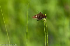 Sunning Skipper (dglsbrwnsr) Tags: skipper suning butterfly missouri pause resting