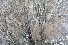 Tree and Ice ...  Pluie Verglaçante (Bob (sideshow015)) Tags: ice storm branches nikon 7100 sigma mississauga ontario canada tempête glace arbre hiver beautédelanature