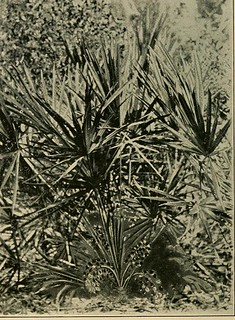 This image is taken from Saw palmetto : (sabal serrulata. serenoa serrulata) : its history, botany, chemistry, pharmacology, provings, clinical experience and therapeutic applications