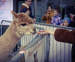 Feeding the Alpacas (denise.ferley) Tags: forumnorwich cityfun animals feeding peoplewatching norwich urban uk thisisengland alpaca