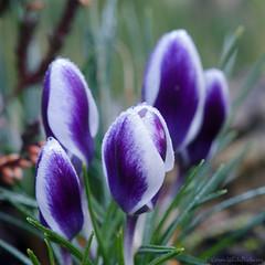 deep purple 8/100x 2019 (sure2talk) Tags: deeppurple purpleandwhite crocus nikond7000 nikkor85mmf35gafsedvrmicro macro closeup 100xthe2019edition 100x2019 image8100 8100x2019