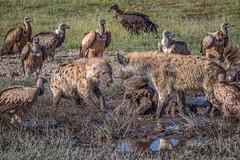 Scavenger Standoff (helenehoffman) Tags: leptoptiloscrumenifer whitebackedvulture kenya amboselinationalpark crocutacrocuta gypsafricanus scavenger maraboustork spottedhyena africa animal