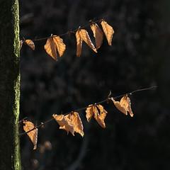 Autumn or Spring ? (louise peters) Tags: leaves bladeren boom tree bos wood speulderbos beuk beech sunbeam sunray sun zon zonnestraal closeup macro hmm