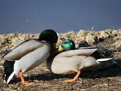 Beak to beak (yvonnepay615) Tags: panasonic lumix gh4 nature ducks wwt welneyweltandtrust norfolk eastanglia uk ngc