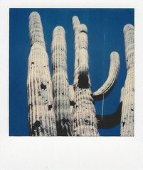 blue sky saguaro arizona (EllenJo) Tags: instantfilm polaroidoriginals theimpossibleproject impossibleproject instant arizona az march 2019 ellenjo sx70 polaroid daytriptoapachetrail apachetrail sonorandesert apachejunction lostdutchmanstatepark arizonastateparks saguaro