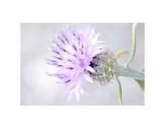 Brasera, (Centaurea aspera) (EFD-fotolab) Tags: españa nikkor105mm nikond610 nikon macrofotografia naturaleza macro efdfotolab marzo invierno flores floressilvestres flowers centaureaaspera brasera ngc
