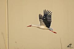 Ciconia ciconia 3 (nonnogrizzly) Tags: ciconiaciconia cicogna aves uccelli birds natura fauna avifauna migrazione