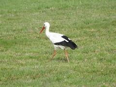 Storch (Kellerelb) Tags: storch vogel bird wiese