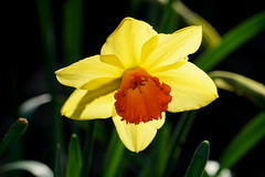 Narzisse (hermann.kl) Tags: köln cologne rheinpark narzisse daffodil blume blüte flower blossom