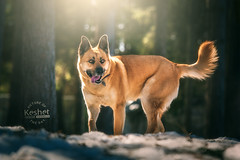 Picture of the Day (Keshet Kennels & Rescue) Tags: adoption dog ottawa ontario canada keshet large breed dogs animal animals pet pets field nature photography winter snow woods forest sunlight sun light soft flare husky shepherd german gsd mix fairytale magical