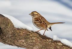 White-throated Sparrow (Lynn Tweedie) Tags: wood beak tail wing canon ngc animal 7dmarkii missouri bird eye sigma150600mmf563dgoshsm tree eos feathers whitethroatedsparrow branch
