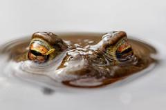 ~ Schau mir ins Auge, Kleiner ~ (marcus.fehde) Tags: erdkröte bufo natur naturfotografie amphibien kröte makrofotografie
