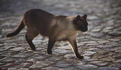 Gato (Mike.Geiger.ca (Myke)) Tags: 2019pt bokeh cat chat chocolatepoint feline gato kitty sagres siamese stone whiskers algarve portugal