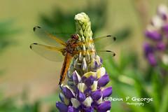SCARCE-CHASER-DRAGONFLY-27-5-18-RSPB-STRUPSHAW-FEN-(4) (Benn P George Photography) Tags: rspbstrumpshawfen 27518 bennpgeorgephotography rspb scarcechaser dragonfly chaser nature fens norfolk norwich nikon nikond7100 nikon200500 d7100