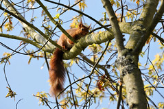 One of our little friends :-) (jeangrgoire_marin) Tags: squirrel fauna animal animaux sprin reddish tail