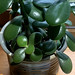 Jade plant in a round pot