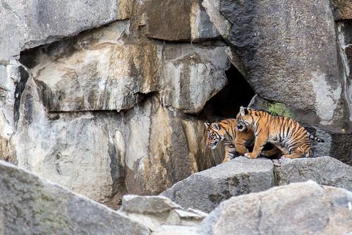 Sumatran Tiger Cubs at Tierpark Berlin