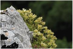 Saxifrage de Gizia (Les Billardes) Tags: nature macro saxifrage endémique plante fleur flower 7dii jura reculée rocher campagne botanique botany france écologie rareté
