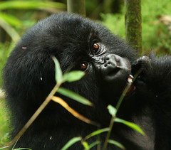 Gorilla - Volcanoes National Park - Rwanda (lotusblancphotography) Tags: africa afrique rwanda volcanoesnp nature wildlife faune safari animal gorilla gorille