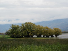 Interesting grove (jamica1) Tags: salmon arm shuswap bc british columbia canada marsh trees grass clouds