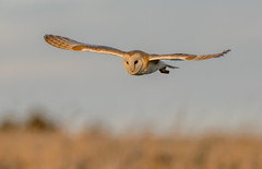 DSC0764  Barn Owl.. (Jeff Lack Wildlife&Nature) Tags: barnowl barny barns owl owls birdsofprey raptors birds avian animal animals wildlife wildbirds wetlands woodlands wildlifephotography jefflackphotography heathland hedgerows heathlands heaths moorland marshland meadows marshes moors farmland forest fields countryside copse glades grasslands nature